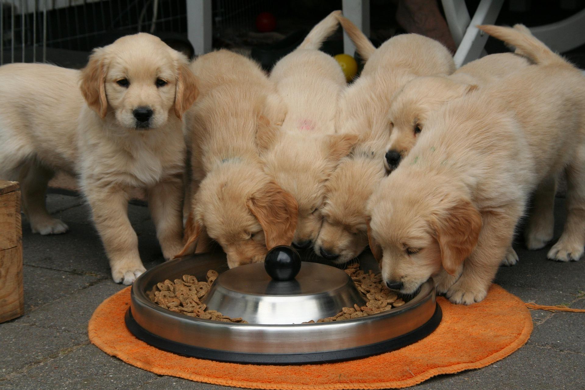 golden retriever puppies eating. per supplies at allpetsco